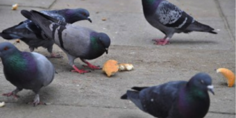 Four Reasons Not To Feed The Pigeons